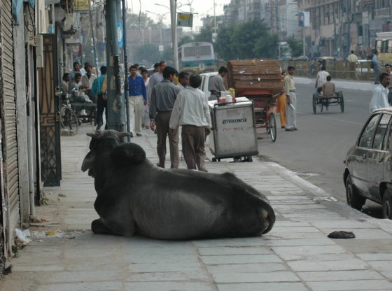 Cows are a common sight in the streets of New Delhi. A cow reclines in the middle of a pavement on a busy road.